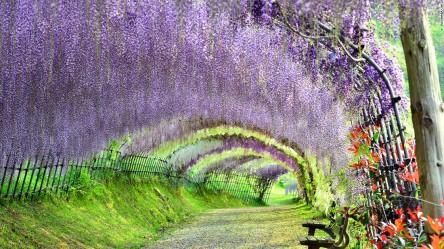150306145109-beautiful-japan-kawachi-wisteria-super-169
